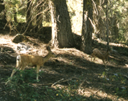 two Yosemite deer